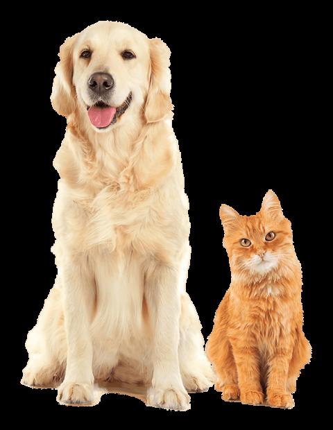 Golden Retriever Dog and Ginger Cat