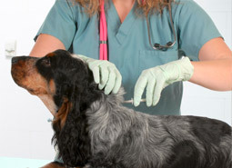 A vet implanting a microchip to a dog
