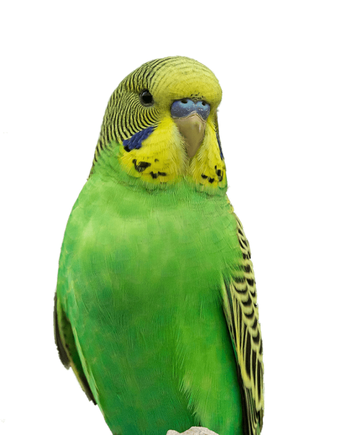 A green budgie